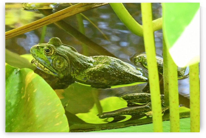 Frog by H.Hart Photography
