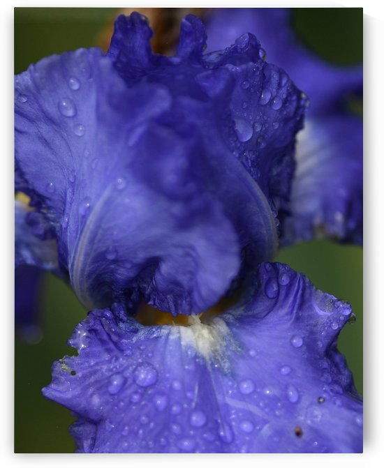 Purple Flower by H.Hart Photography