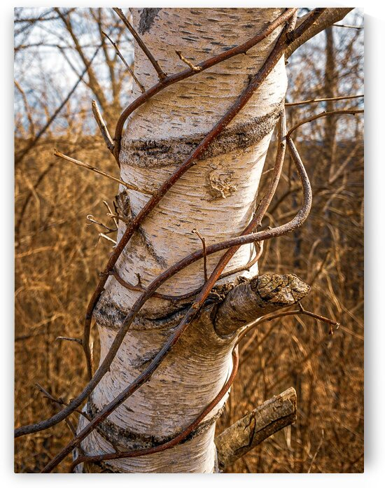 Strangled Birch by Dave Therrien