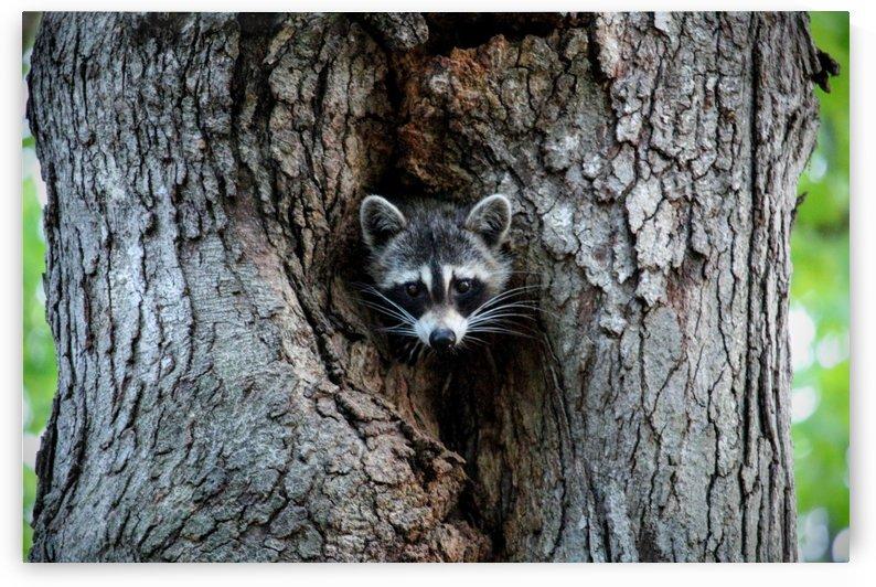 Raccoon by Michael Geyer
