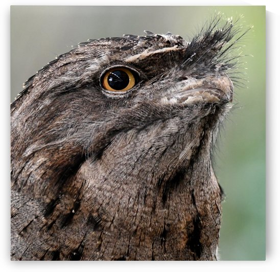 Tawny Frogmouth by H.Hart Photography