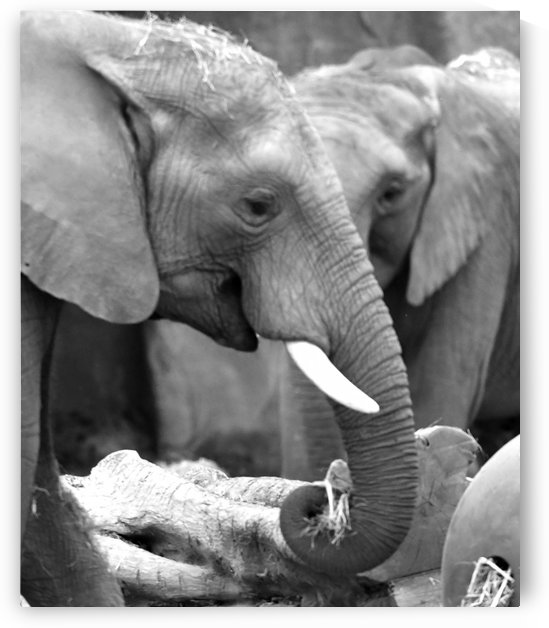 Elephants by H.Hart Photography