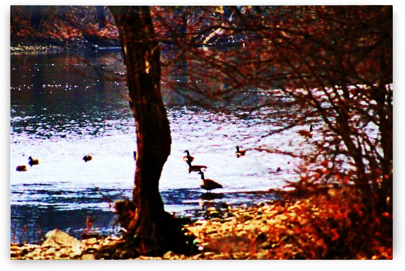 Swimming Geese by Don  Baker
