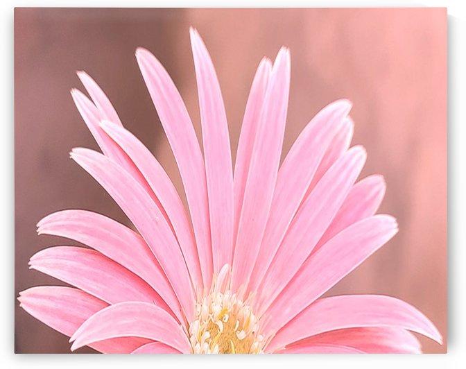 The beautiful pink gerbera flower by Valeriia