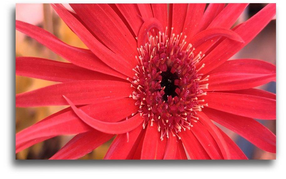 The beautiful red gerbera flower by Valeriia