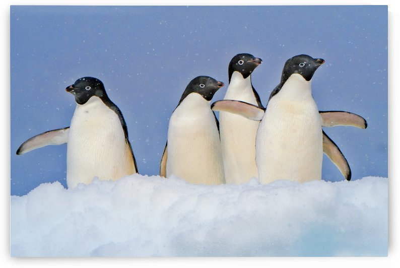 Penguins on Iceberg by Eitan Daniel Raz photogRAZy Studio