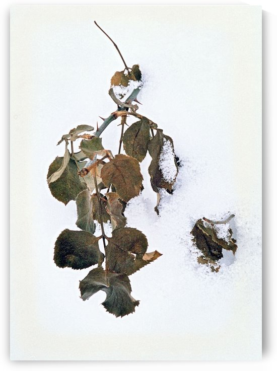 A Winter Rose Bush by ImagesAsArt By John Louis Benzin