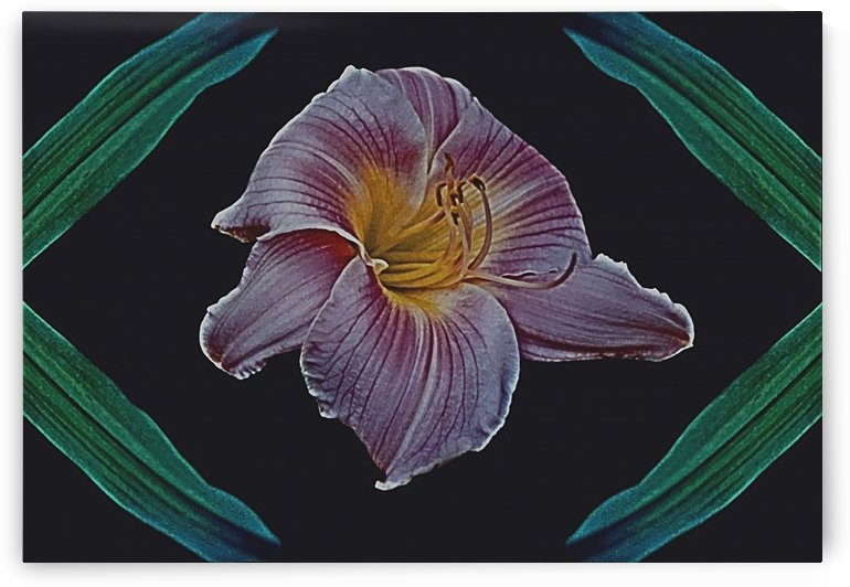 Daylily Bloom Framed By Its Leaves by ImagesAsArt By John Louis Benzin