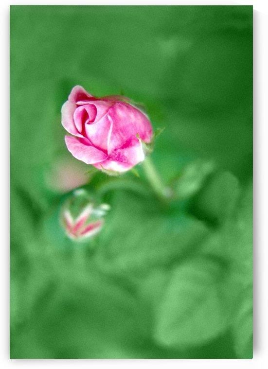Rose Bud by ImagesAsArt By John Louis Benzin