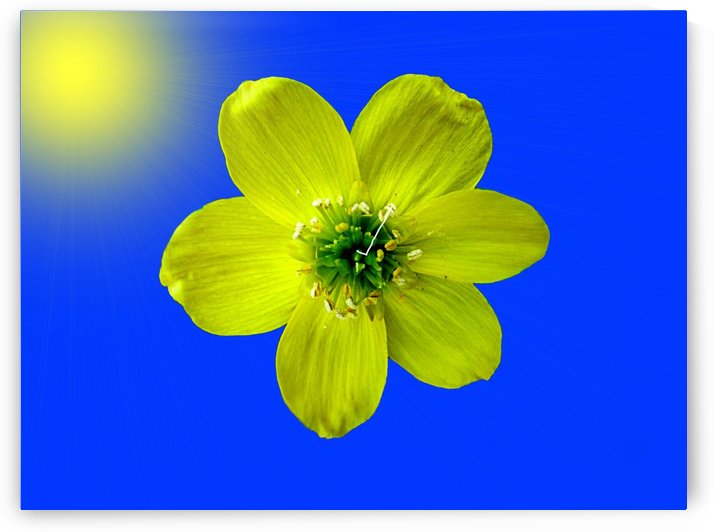 Winter Aconite Bloom With Sunrays by ImagesAsArt By John Louis Benzin