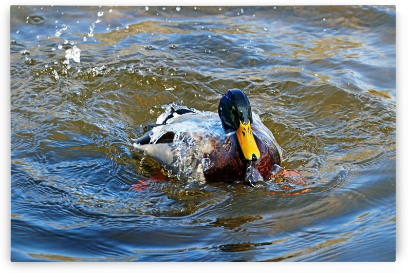 Water Off A Ducks Back by Deb Oppermann