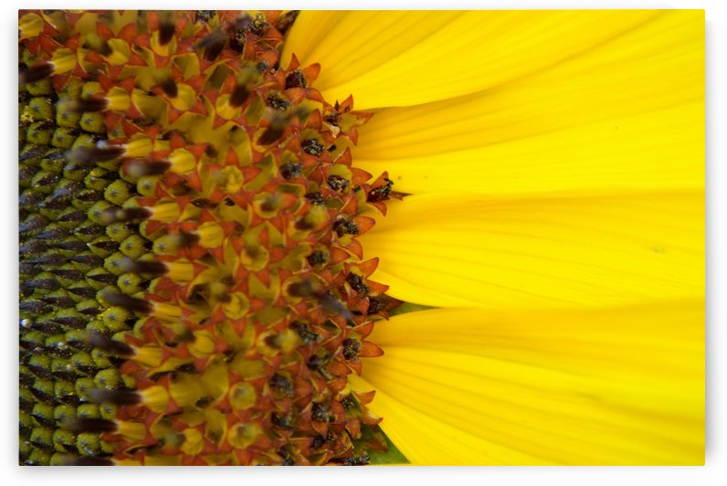 Sunflower American Giant variety macro by Michelle K Wood