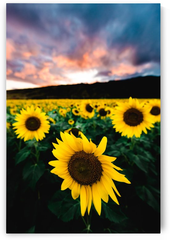 Sunflower Sunset by Lucas Moore