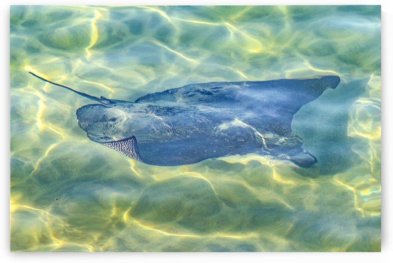 Stingray at Pacific Ocean, Galapagos   Ecuador by Daniel Ferreia Leites Ciccarino