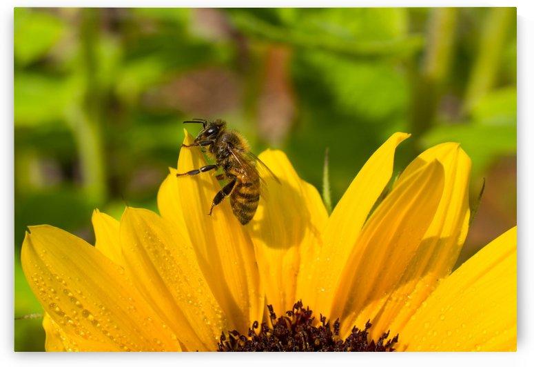 mid summer honey bee by Sara Whelen