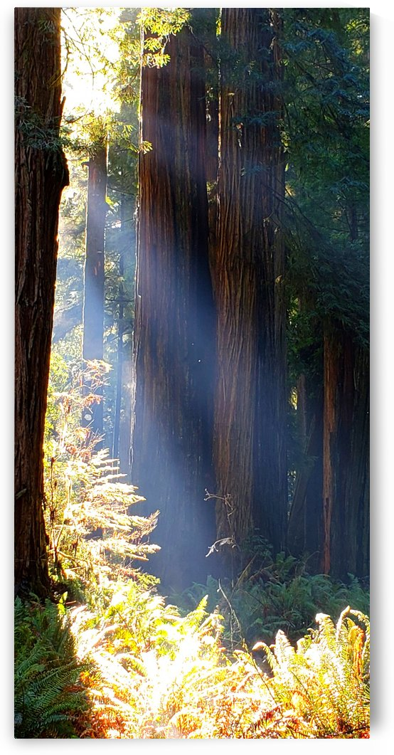 Redwoods by TJ Meagher