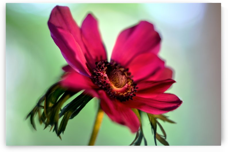 Pink Anemone by Camelia C