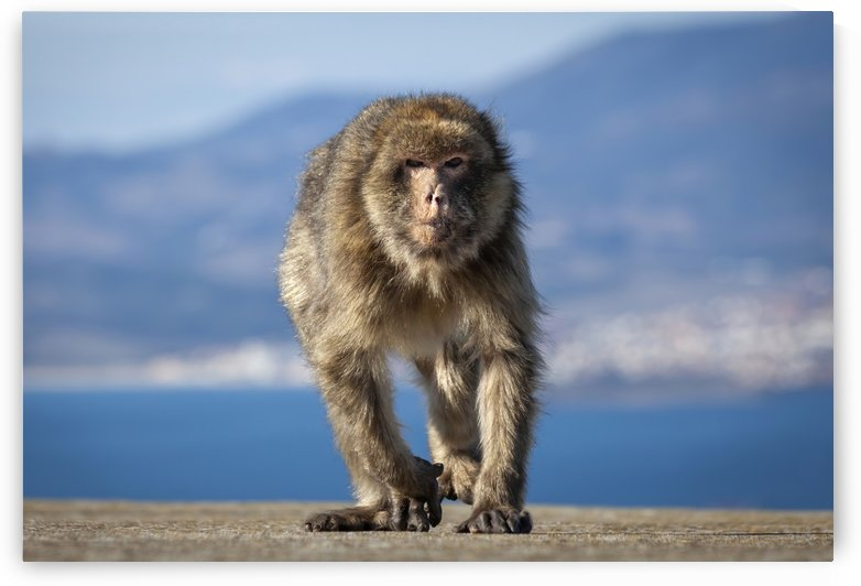 Barbary ape in Gibraltar by Leighton Collins