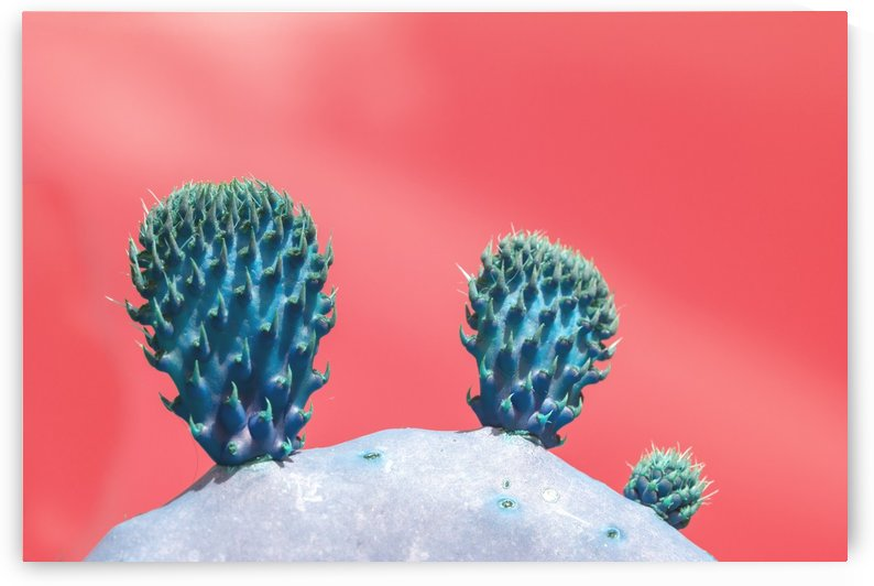 Cactus Ears by MallorcaImages