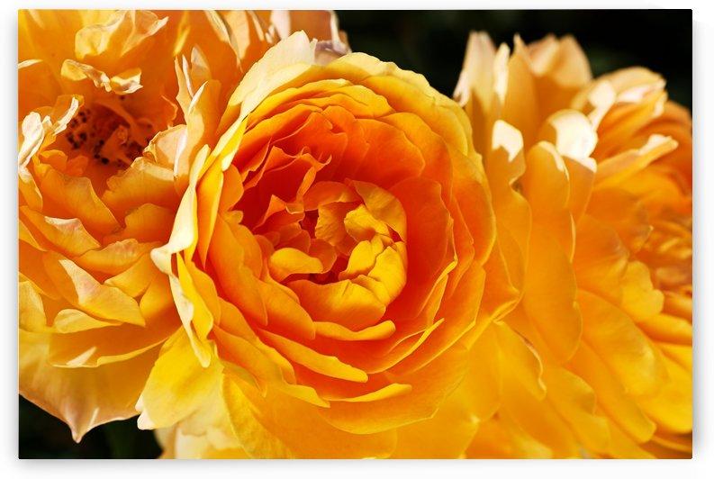 Roses Rich Orange by Joy Watson