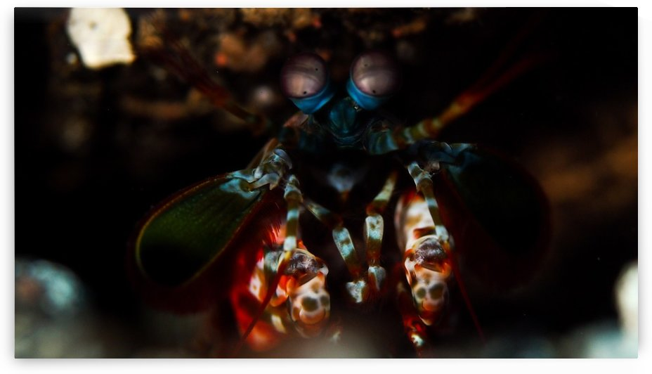 Mantis Shrimp 3 by Michael Brown