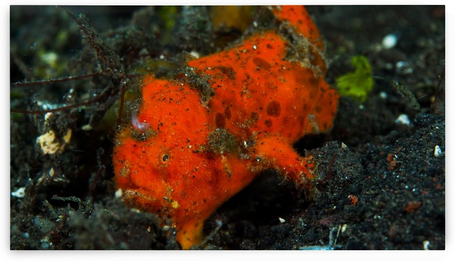 Frog Fish Red by Michael Brown