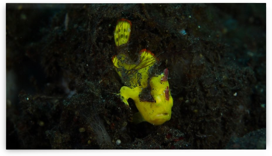Yellow Frog Fish by Michael Brown