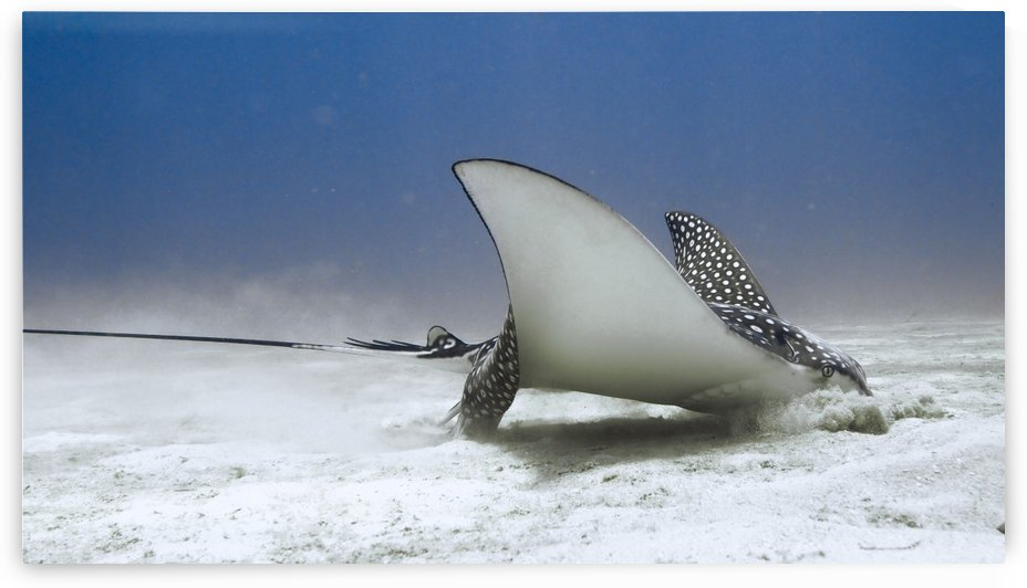 Eagle Ray by Michael Brown