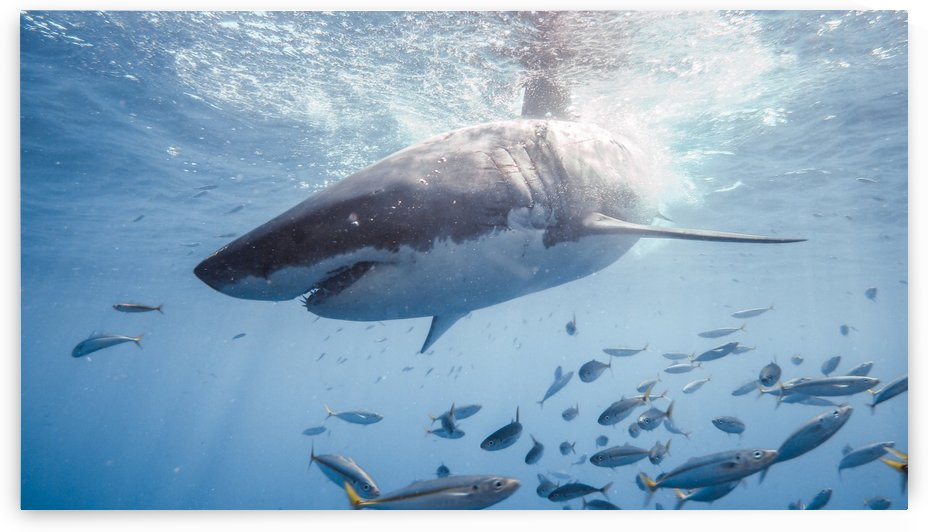 Great White Dive by Michael Brown