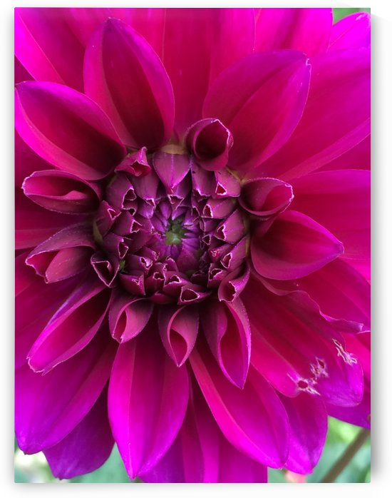 Dahlia by Debbie Caughey