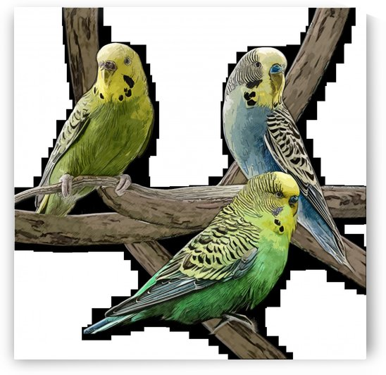 bird pet budgie parrot animals by Shamudy