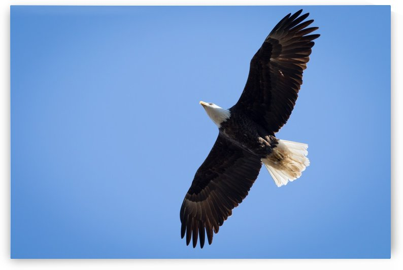 Bald Eagle at Silver Bluff Audubon 9578 by @ThePhotourist