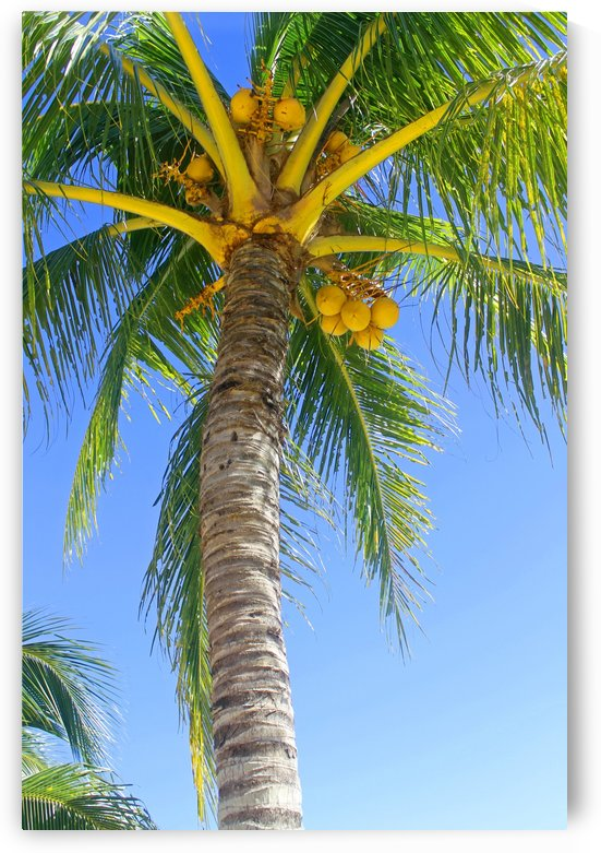 Palm Tree and Coconuts by Gods Eye Candy