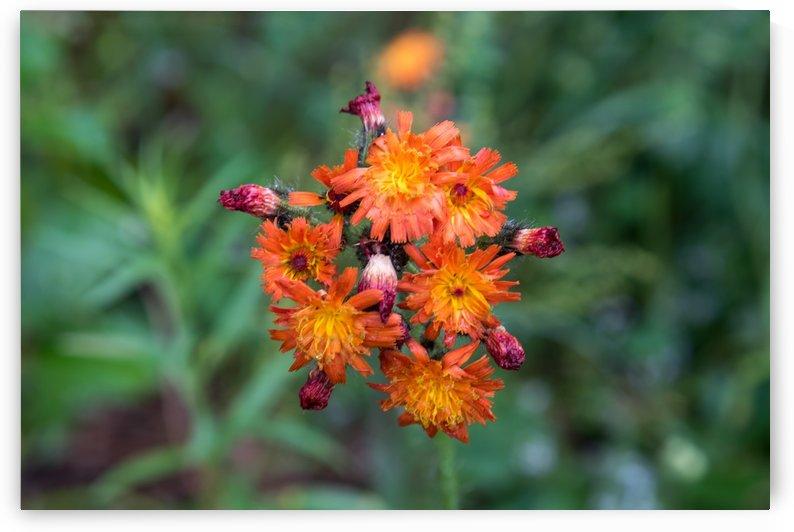 Orange wild flower by RezieMart