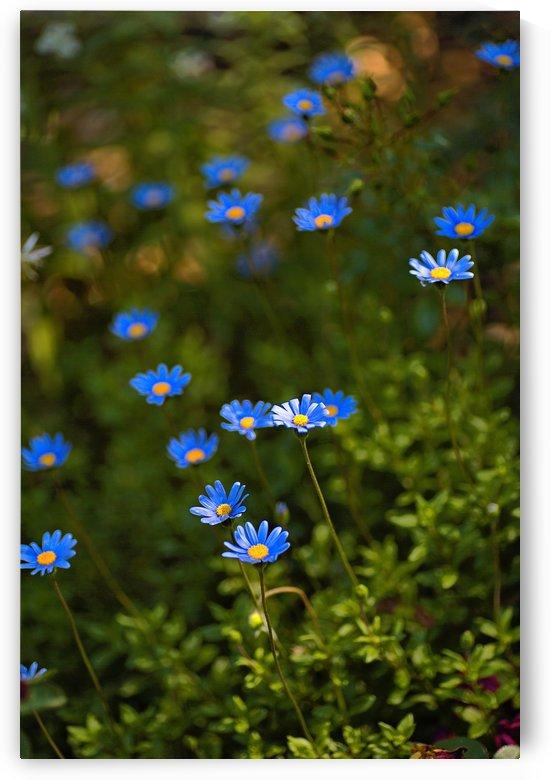 Daisy Garden by Joy Watson