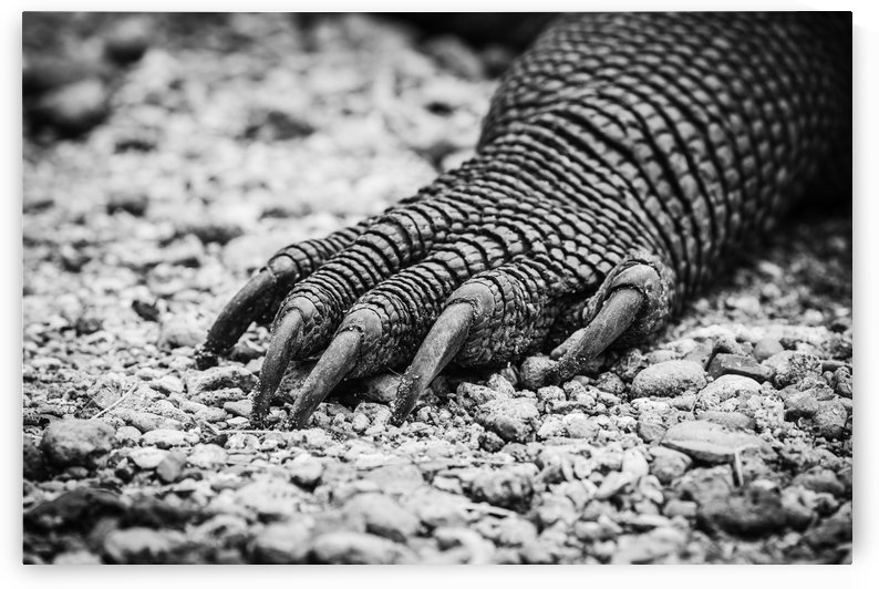 The Komodo Dragon Claw by Sebastian Dietl