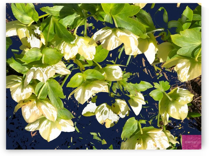 Cascading Hellebore by BotanicalArt ca