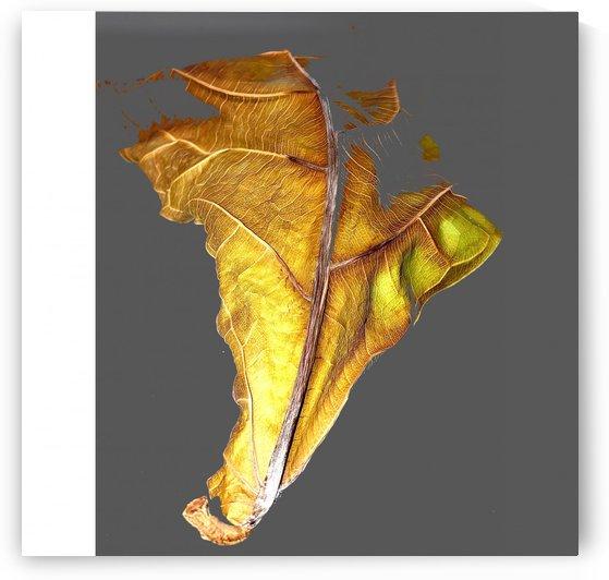 Fiddle Fig Leaf by BotanicalArt ca