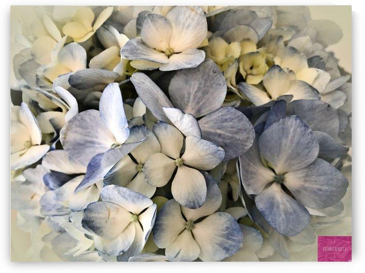 Baby Blue Hydrangea by BotanicalArt ca