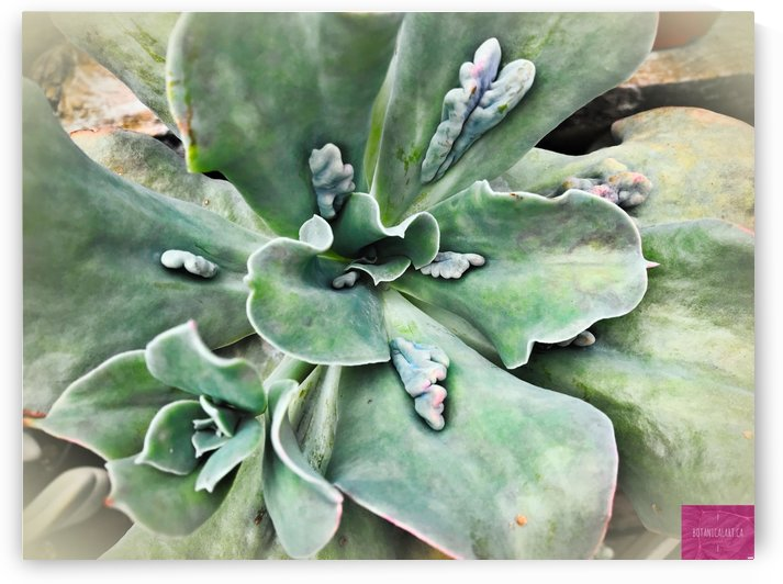 Stunning Succulent by BotanicalArt ca