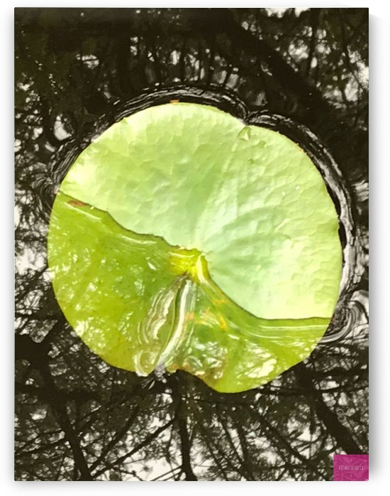 Water Lily Pad with Ripples by BotanicalArt ca
