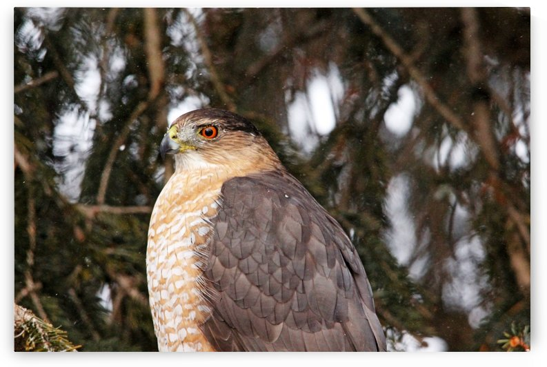 Coopers Hawk On Snowy Day by Deb Oppermann