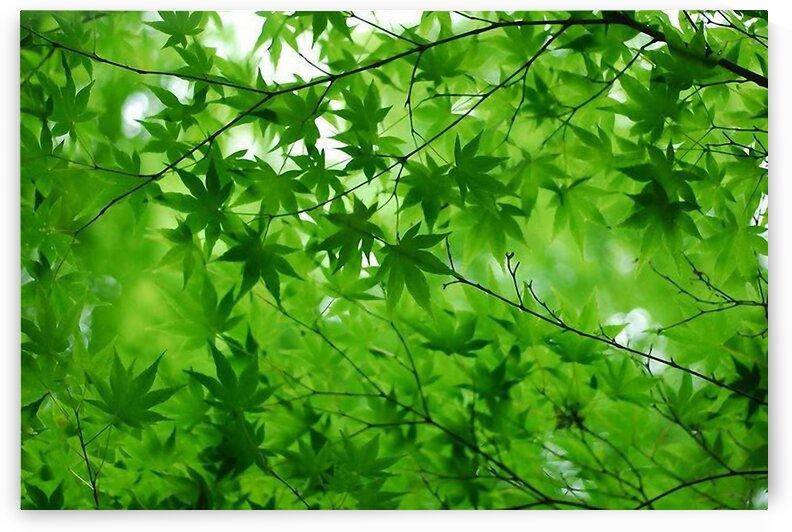 Fresh green maple. A tree in a park  by Radiy Bohem
