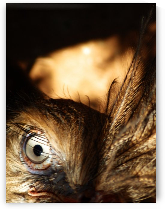 Southern Screamer Eye and Feathers by Creative Endeavors - Steven Oscherwitz