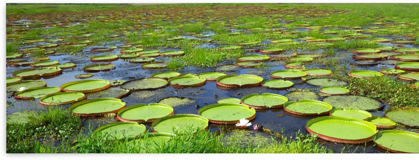 Giant Lily Pads by Creative Endeavors - Steven Oscherwitz