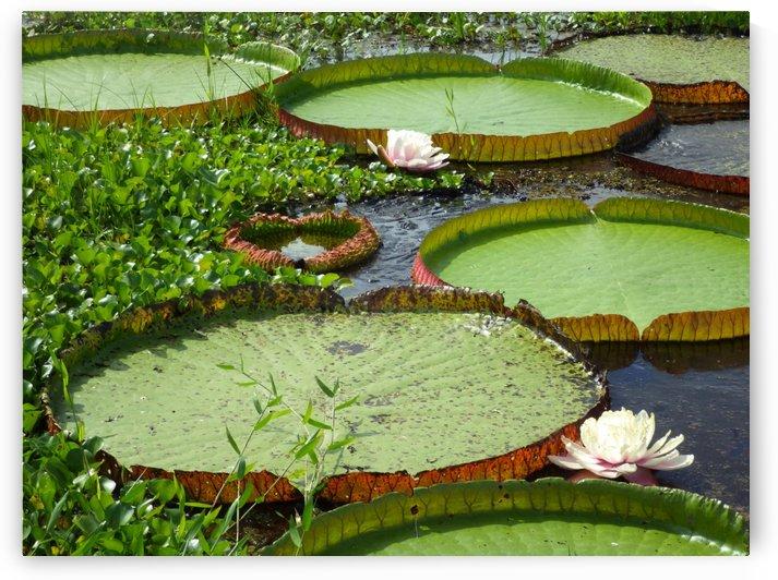 Giant Lily Pads  - Pantanal Brazil by Creative Endeavors - Steven Oscherwitz