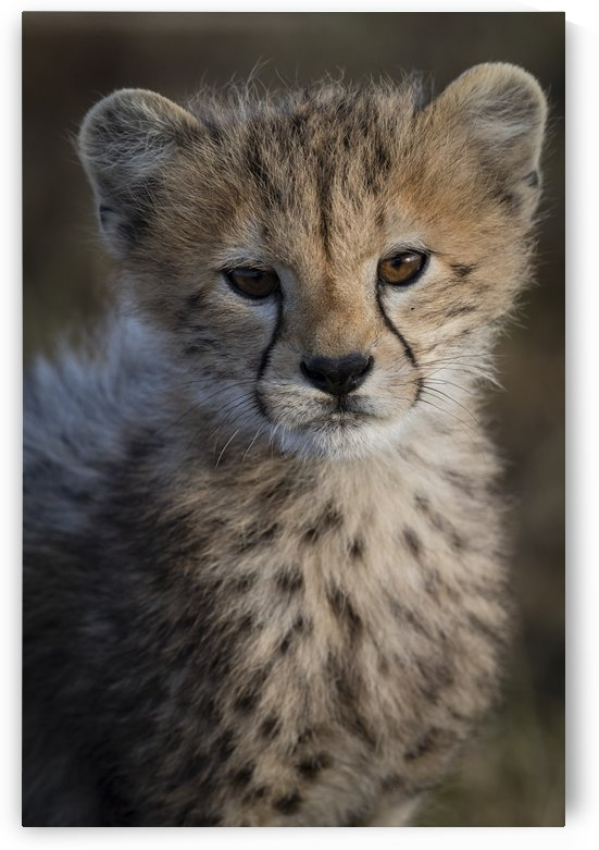 Cheetah Cub by JADUPONT PHOTO