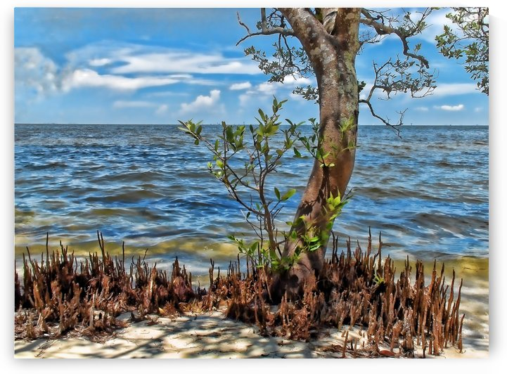 Seashore Mangrove by HH Photography of Florida