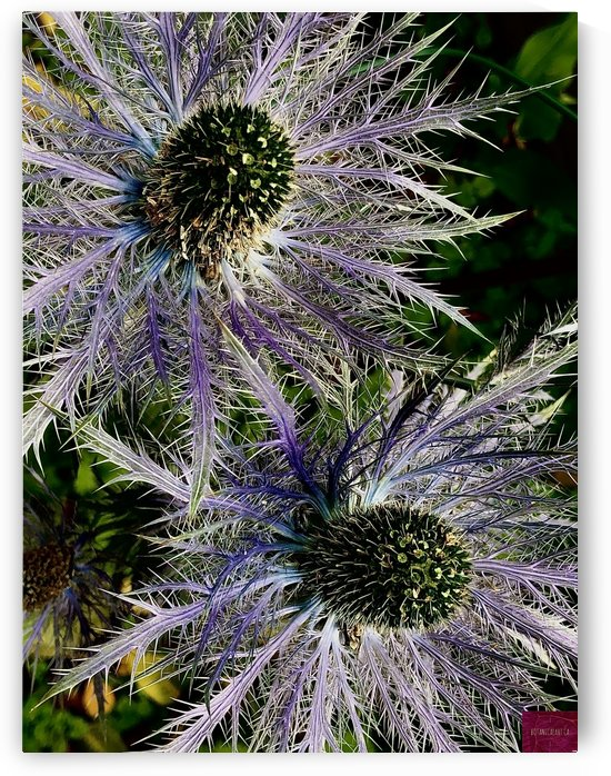 Sea Holly by BotanicalArt ca