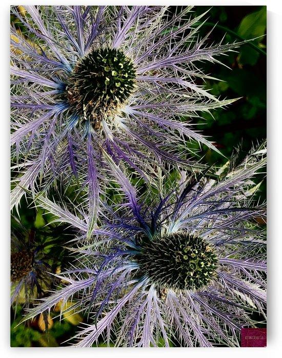 Sea Holly by BotanicalArt ca